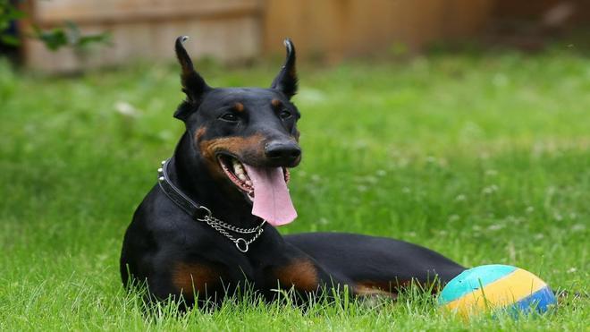 動物圖集:強壯的狗狗杜賓犬