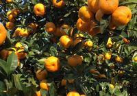 頓崗的橘子熟了
