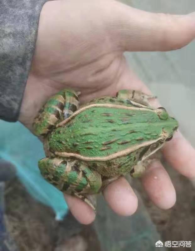 現在才要改造田養青蛙,請問遲了嗎?還來不來得及養?