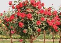 """養殖月季花時,對它做這""""2個小動作"""",開花的時候花量翻一倍"""