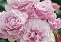 月季一般什麼時候開花?買回家的歐月裝樹是怎麼回事呢?