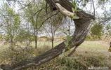 河南內黃:小柴村一棵大榆樹獨木成林,村民盼望專家掛牌保護