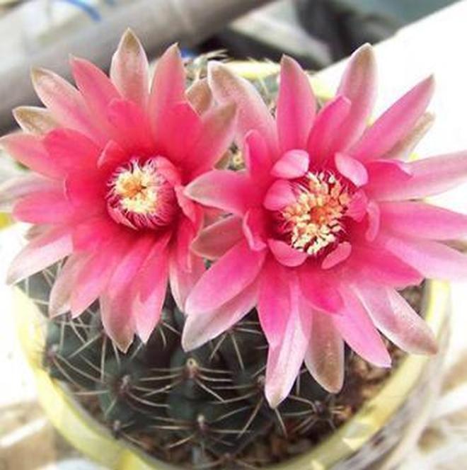 會開花的仙人掌好美,這裡的仙人掌會開花