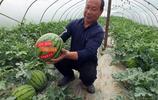 湖北宜昌:鄉村西瓜採摘園西瓜成熟 遊客採摘樂趣多