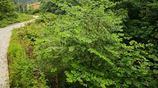 湖北十堰:產新進行時的野生虎杖