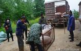 湖北隨州:實拍均川七條鍾於江帶外地販子來村裡收豬
