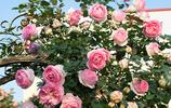 太美了!坐車看到一農家小院,花團錦簇,回家讓老媽也這麼整