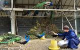 浙江一農民夫妻養孔雀,年入20多萬元,帶動相鄰走致富路