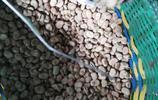 用碳灰和釘子炒出來的蠶豆,你肯定沒吃過,實拍山裡農村自己做的零食