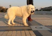 你有勇氣養一隻力大如牛的大白熊犬嗎?