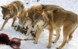 3只忠犬為救主人 葬身狼腹,這就是動物法則沒法干涉