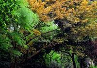 黃桷樹黃葉飄落 重慶滿城盡帶黃金甲