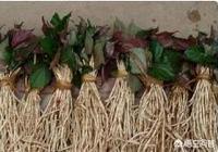 農村中可藥用的野草有哪些,有什麼主要功效?