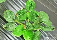 最近草莓出現的缺鈣和病毒病,你能分出來嗎?該如何防治?
