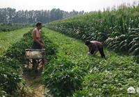 在農村有8畝地,種糧食又不掙錢,種植什麼好呢?