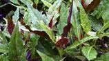 農家菜園裡的紫背菜,食用營養價值高,藥用涼血止血、清熱消腫