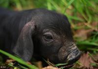 黑豬重新進軍生肉市場,好吃嗎?如何才能把握機會搞好黑豬養殖?