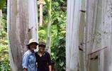 實拍世界最大香蕉,單單樹就高18米,一根香蕉4斤重!