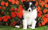 動物圖集:可愛的邊境牧羊犬