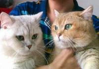 貓星人英短:英短金漸層!英短金漸層!