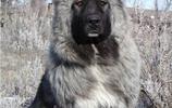 動物圖集:高加索犬美圖
