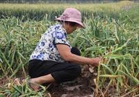 鄉下的母親來城市呆了六天,就趕緊回老家收菜籽了