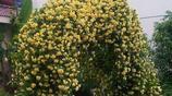 適合用來遮陰的八種爬藤植物花卉,你最喜歡種什麼