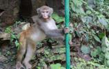 中國自然地理分佈最北限的獼猴保護區 山西陽城蟒河獼猴