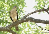 褐耳鷹百科知識,中國46種鷹科之一