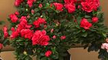 """號稱""""凍不死""""盆栽,一個月不澆水也能活,易活易樣,冬養春開花"""