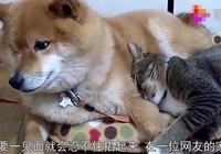 柴犬發現窩被貓佔領,沒有大吼大叫,而是使出了殺手鐗!太沒用了