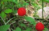 農村野果圖集:高清蛇果(像似野草莓)