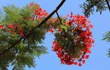 花兒為什麼這樣紅?鳳凰木花朵悄然綻放