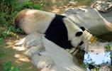 萌態大熊貓,看了讓人哈哈大笑,真是一隻活寶