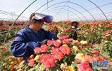 河北定州市農民發展花卉產業 成為農民增收致富的特色產業