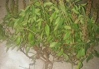 這是什麼草藥,叫什麼名?