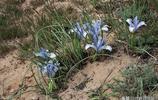 細葉鳶尾 Iris tenuifolia