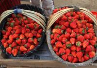 草莓得了白粉病 別急 這裡有好辦法治