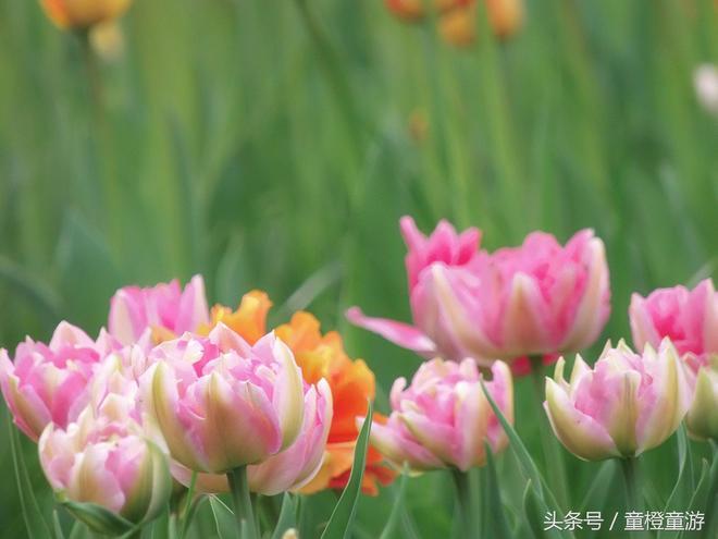 中山公園的鬱金香