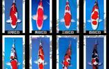 錦鯉魚是雜食性,一般軟體動物