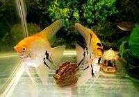 神仙魚和七彩神仙魚相比,哪個更容易繁殖,各有什麼優缺點?