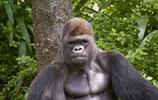 動物圖集:黑猩猩