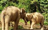 動物圖集:婆羅洲矮象