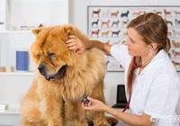 為什麼感覺現在很少人養松獅犬?