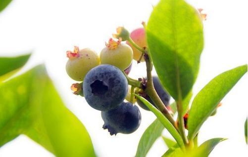 藍莓和楊梅相剋嗎 藍莓不能和什麼一起吃