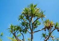 在潮汕這片故土上,有一種植物快滅絕了,你見過它嗎