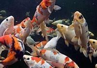 飼養觀賞魚原來還有這麼多缺點,我們能不能乾脆不養了呢?