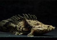 恐龍?!是時候談談恐龍魚了!
