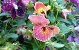 花卉大全——三色堇