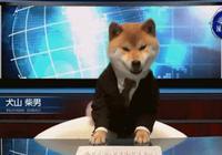 這是一隻在新聞播報裡啥都不做,一本正經賣萌的犬山柴男~
